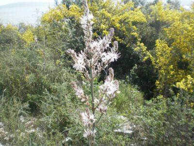 Χλωρίδα, Ερημίτης, Κέρκυρα