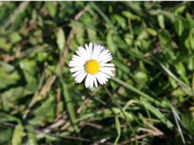 English daisy - Bellis perrenis