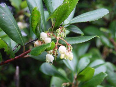 Κουμαριά - Arbutus unedo, Βότανα Ερημίτη