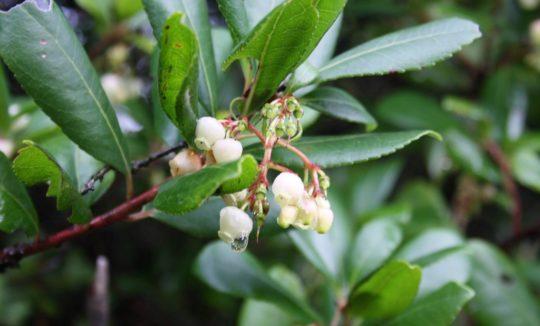 Strawberry tree - Arbutus unedo, Βότανα Ερημίτη