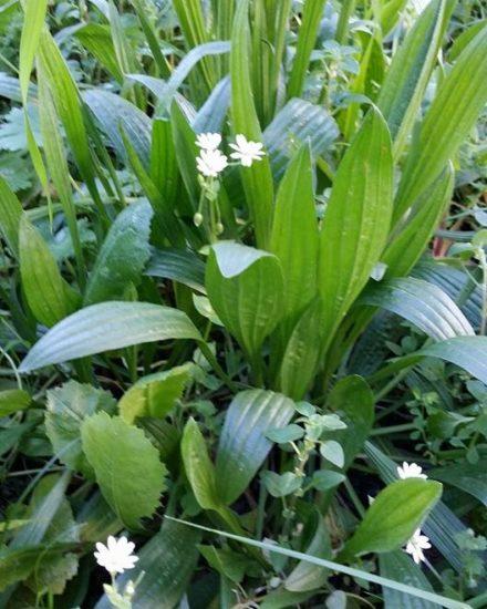 Plaintain - Plantago lanceolata, Βότανα Ερημίτη