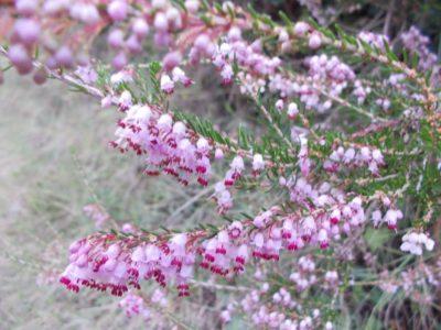 Heather - Erica manipuliflora, Βότανα Ερημίτη