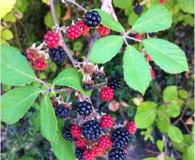 Blackberry - Rubus fruticosus, Βότανα Ερημίτη