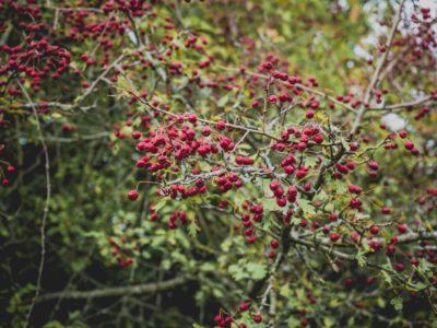 Hawthorn – Crataegus monogyna
