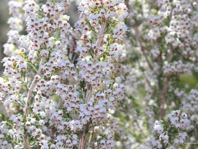 Erica manipuliflora