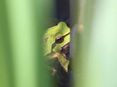 Δεντροβάτραχος, Ερημίτης Κέρκυρα