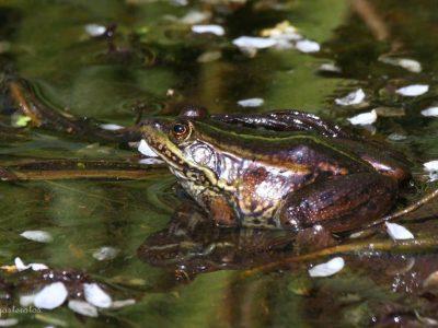 Ηπειρώτικος Βάτραχος, Ερημίτης Κέρκυρα