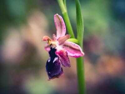 Ophrys Reinholdii