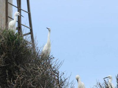 Άσπρα πουλιά στο Καπαρέλι, Ερημίτης, Κέρκυρα