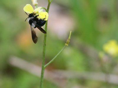Μέλισσα σε λουλούδι, Ερημίτης, Κέρκυρα